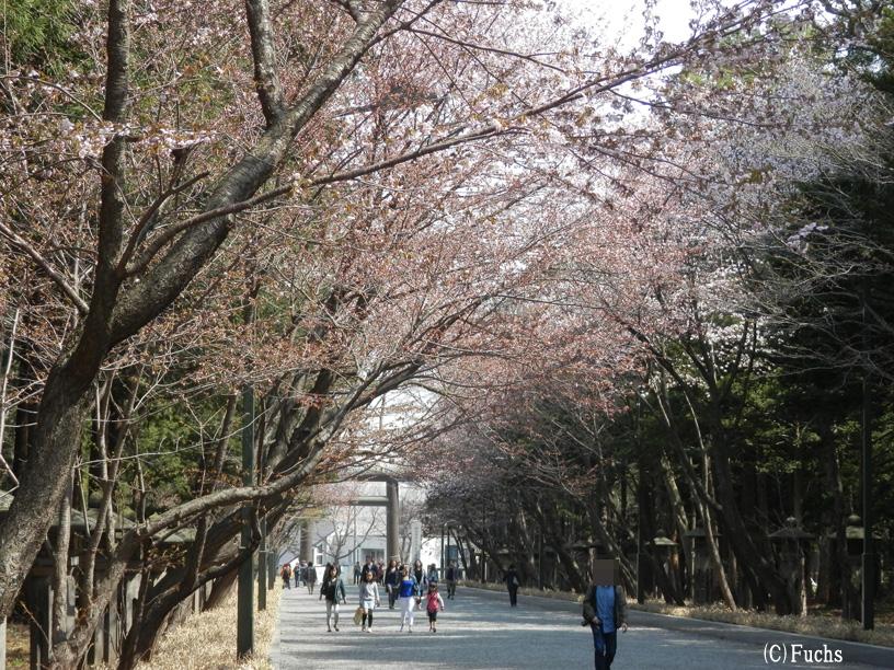 札幌桜2015_02