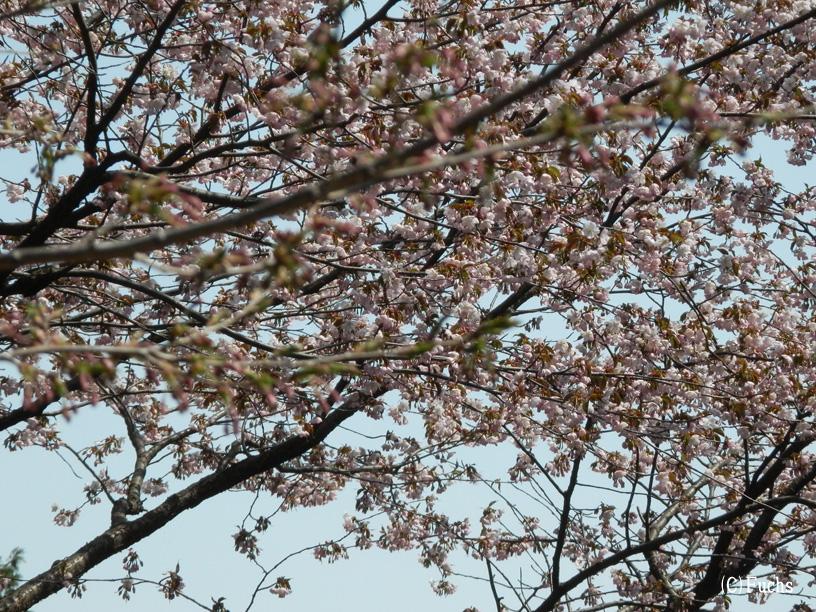 札幌桜2015_03