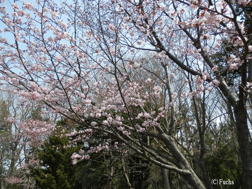 札幌桜2015_05