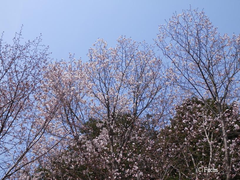 札幌桜2015_07