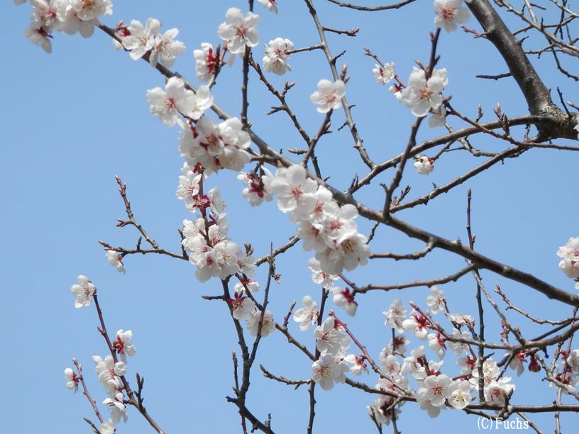 札幌桜2015_08