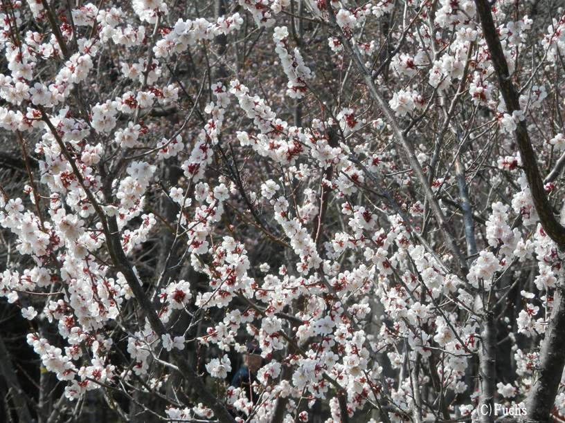 札幌桜2015_09