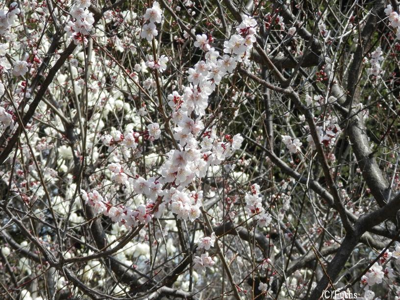 札幌桜2015_12