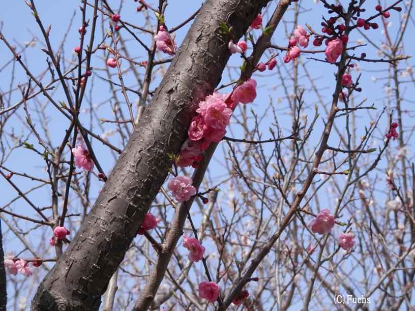 札幌桜2015_15
