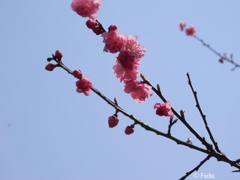 札幌桜2015_16