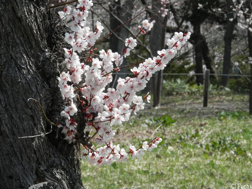 札幌桜2015_17