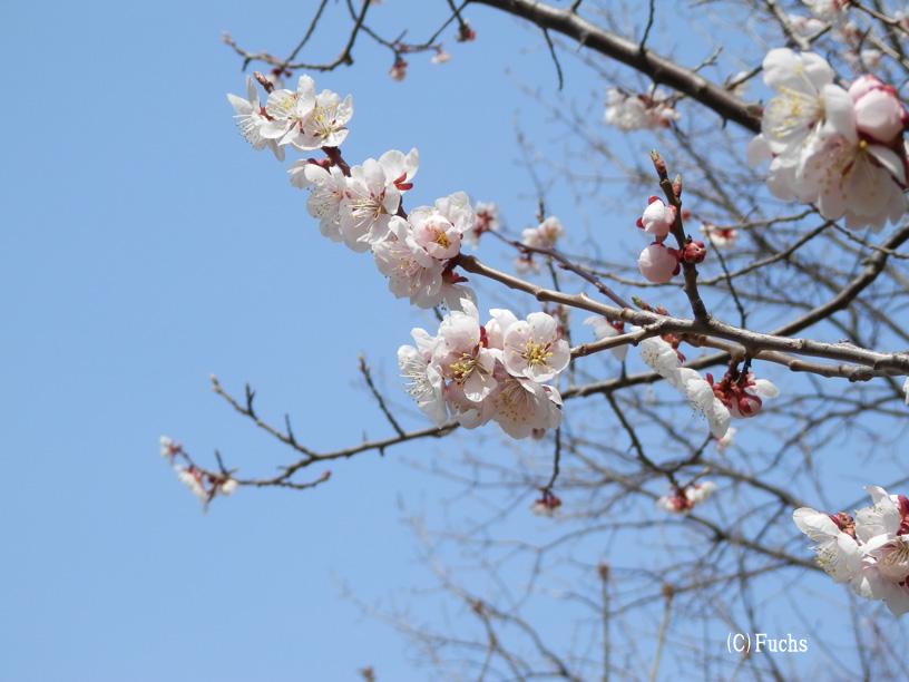 札幌桜2015_19