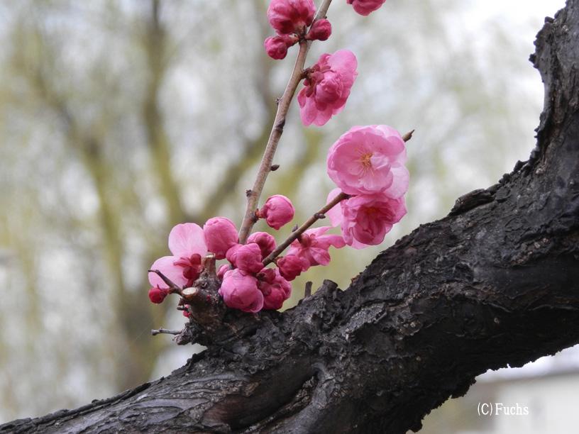 札幌桜2015_20