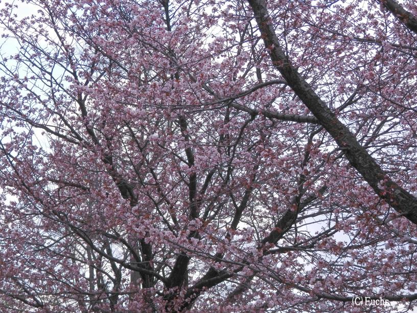 札幌桜2015_21