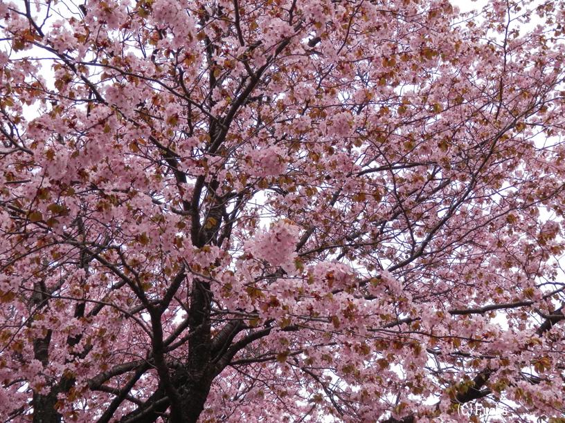 札幌桜2015_22