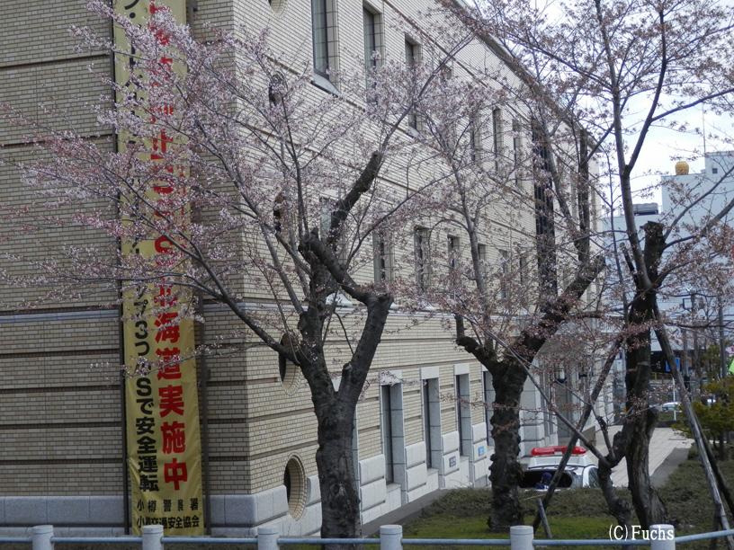札幌桜2015_24