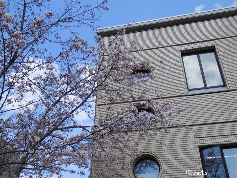 札幌桜2015_25